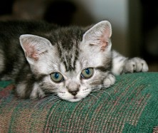 Image of American Shorthair silver tabby kitten resting on couch