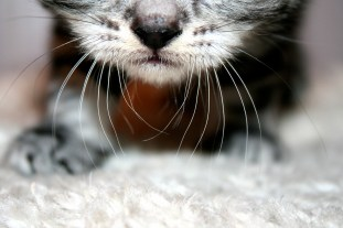 Close up image of kitten whiskers and nose
