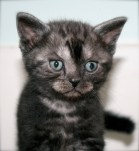 Close up image of black smoke American Shorthair Kitten