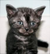 Close up image of black smoke American Shorthair Kitten