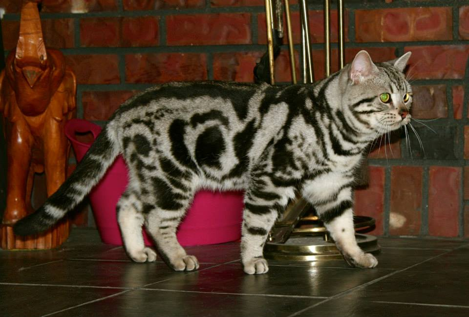 Image of American Shorthair classic silver tabby facing right