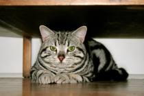 Image of American Shorthair Silver tabby front