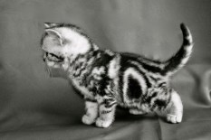 Black and white image of silver tabby American Shorthair Kitten