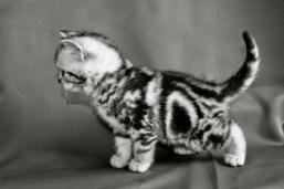 Black and white image of silver tabby American Shorthair Kitten