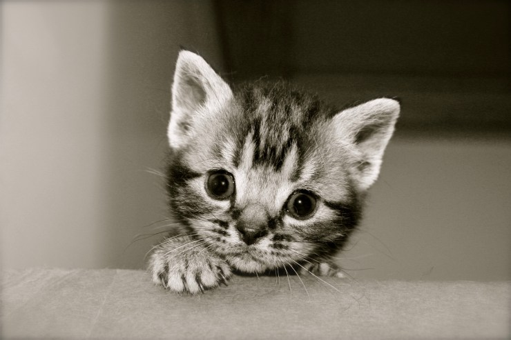 Black and white close up image of gray silver tabby American Shorthair Kitten