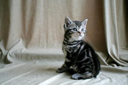 Image of gray American shorthair silver tabby male kitten on beige backdrop