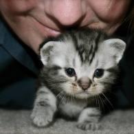 Image of Newborn American Shorthair silver tabby kitten just learning to walk