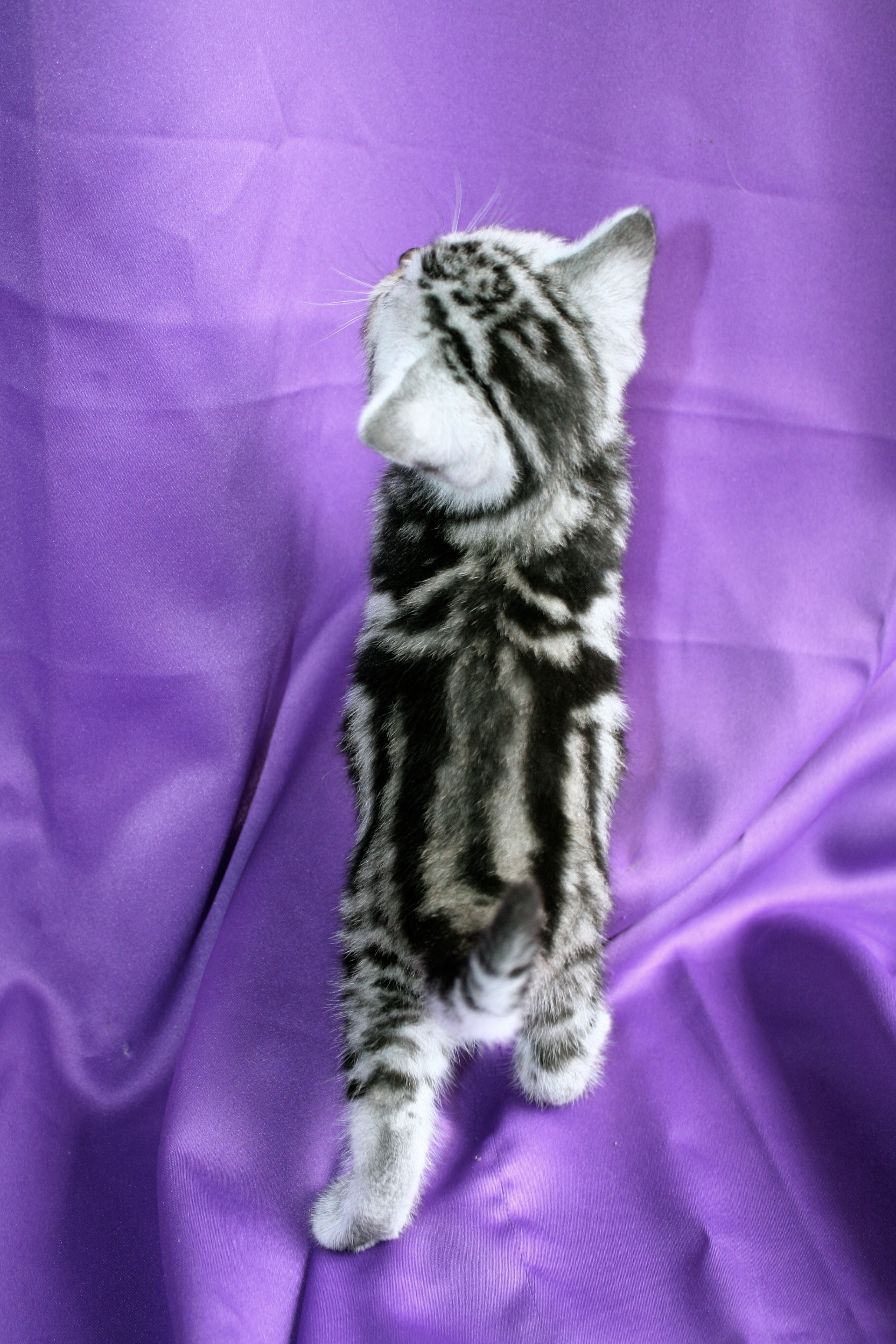 Image of American Shorthair silver tabby kitten top view showing dorsal stripes