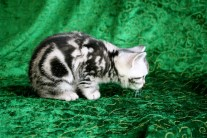 Image of American shorthair silver tabby kitten ready to pounce