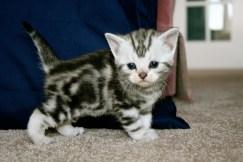 Image of silver tabby American Shorthair kitten