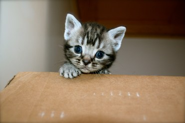 Image of gray silver tabby American Shorthair kitten peeking out of box