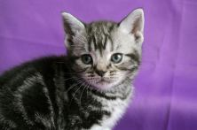 Close-up Image gray silver tabby American Shorthair kitten