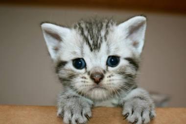 Image of American Shorthair Silver tabby kitten peeking over top of cardboard box