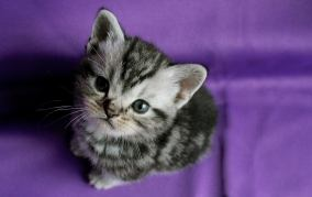 Image of gray American Shorthair silver tabby kitten looking up at camera