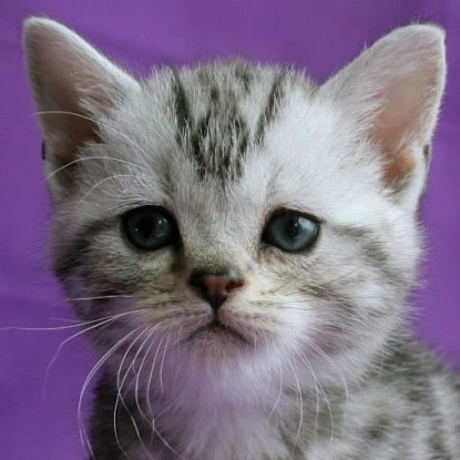Close up image of silver tabby American Shorthair kitten face