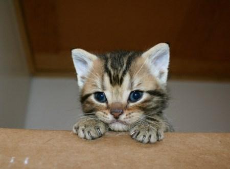 Image of Golden Brown Tabby American Shorthair kitten peeking out of box
