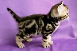Image of Golden Brown Tabby American Shorthair kitten
