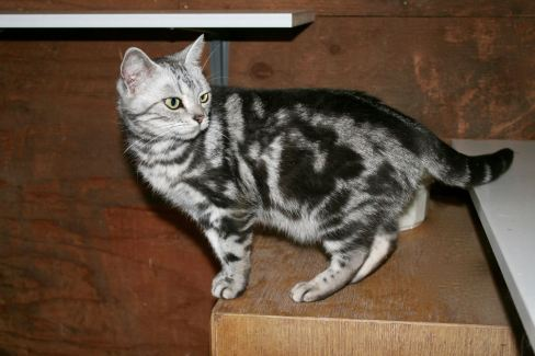 Image of Left Side view of American Shorthair silver tabby cat