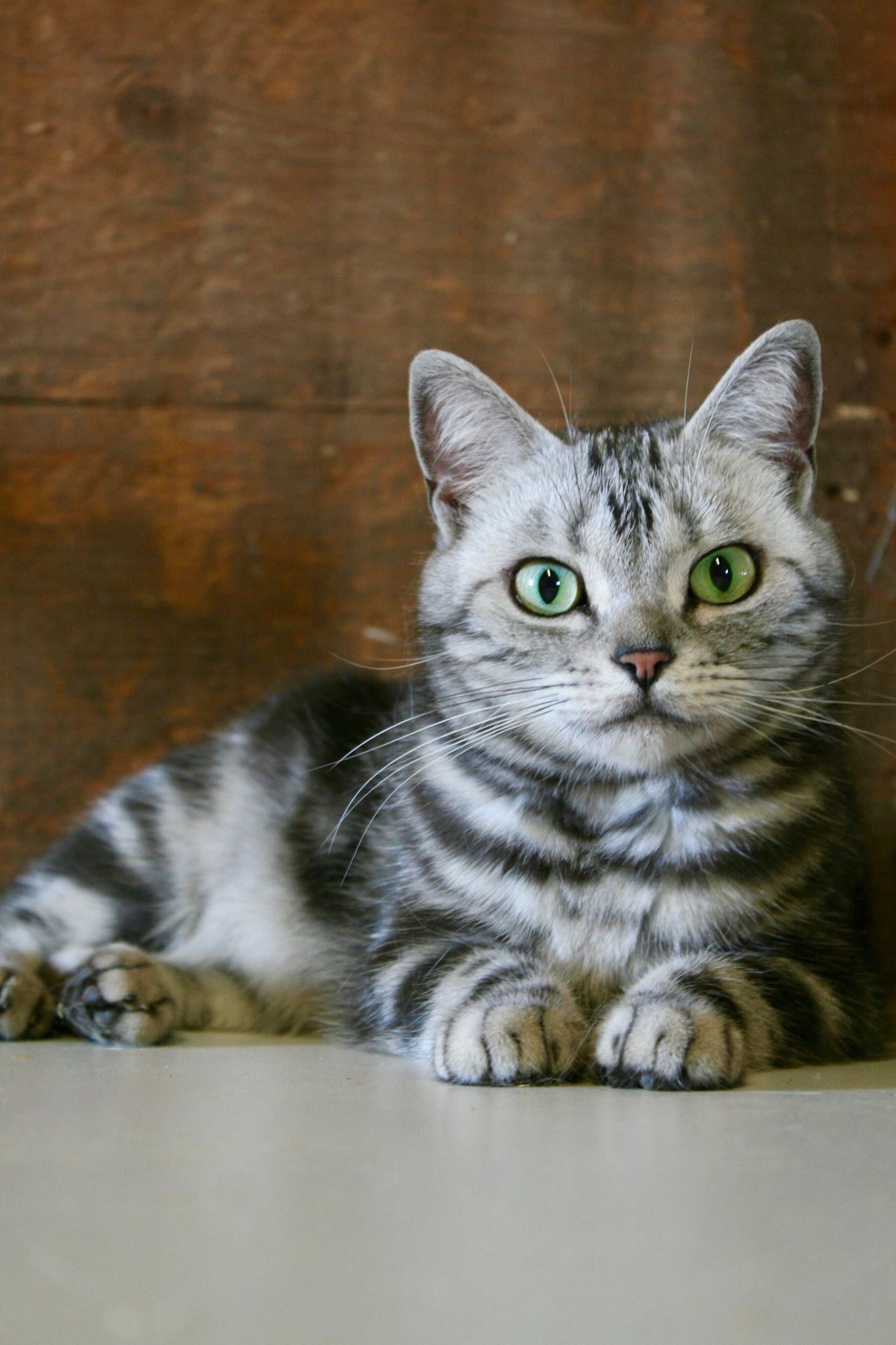 Image of American Shorthair silver tabby cat with emerald green eyes