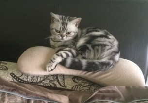 Image of American Shorthair silver tabby cat curled up on top of stack of pillows