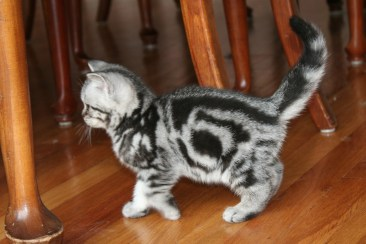 Image of gray silver tabby American Shorthair kitten with bullseye pattern