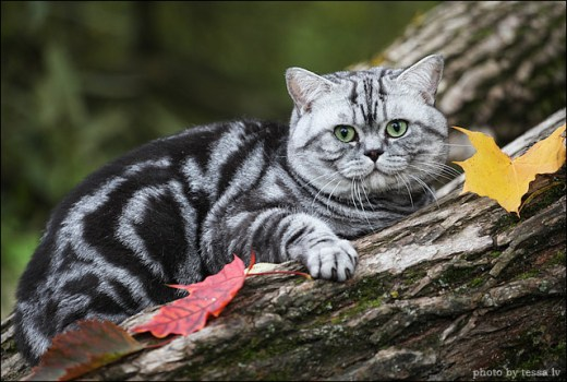 Web Image of Bagira Lovely Panther CZ British Shorthair Silver Tabby