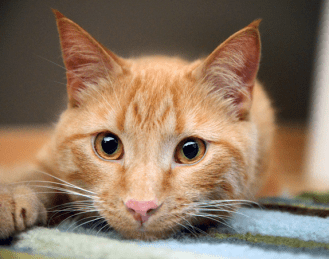 Web Image of Example of Domestic Shorthair red tabby