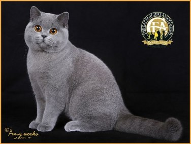 Web Image of National Winner Teddy Cat Hugo Blue British Shorthair