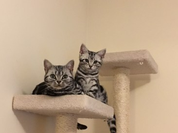 Image of silver tabby cat and kitten perched on cat tree