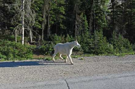 Mountain goat on the Trans Canada Highway, playing chicken with traffic