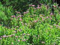 Spirea at the Valhalla trailhead- popular flower with buterflies