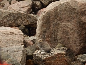 This Arctic hare likes all the rocks.