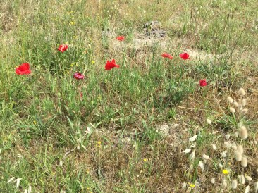Wild poppies everywhere