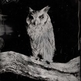 [Silver Sunbeam] Birds of Prey Tintypes - Andy Martin - 5