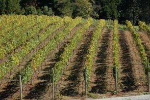 Silvertip_vineyard-rows