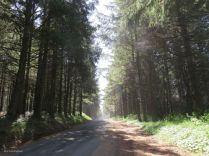 The route took a detour off 101 through some beautiful pine forests