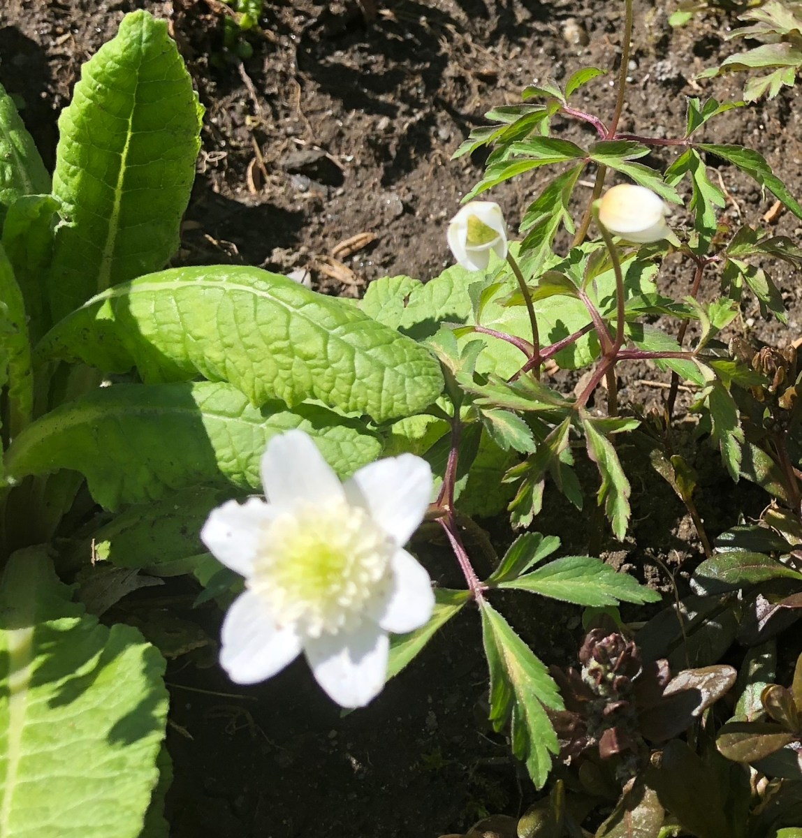 The Wind's Daughter, Anemone nemorosa