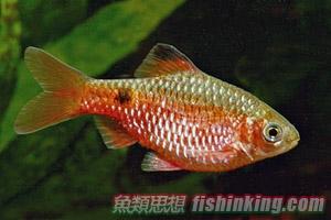 玫瑰鯽 | 香港水族網