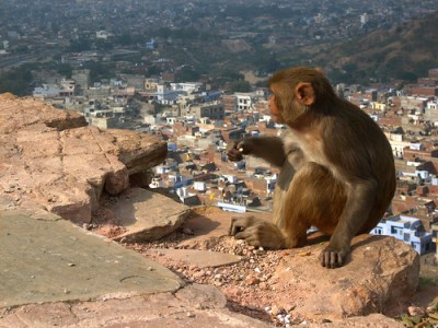 monkey overlooks jaipur