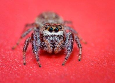 Jumping spider on red background