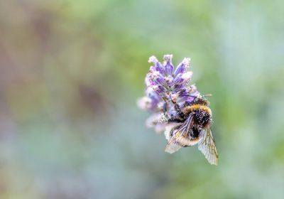 La polinización por especies silvestres de abejas incrementa la cosecha