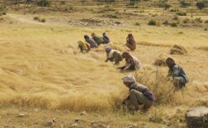 El Teff de Etiopía: La lucha contra la biopiratería