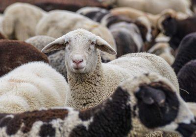 Las heces de oveja reflejan la contaminación por microplásticos de los suelos agrícolas