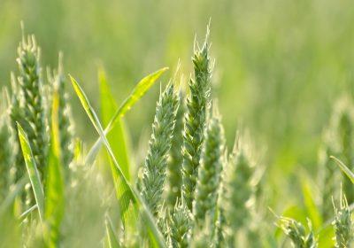 El exceso de nitrógeno en los cultivos de trigo explicaría la alta prevalencia de la celiaquía