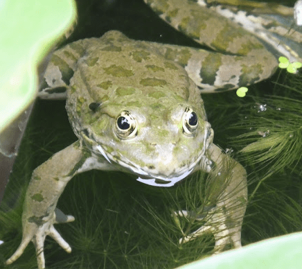 Caucasus Parsley Frog