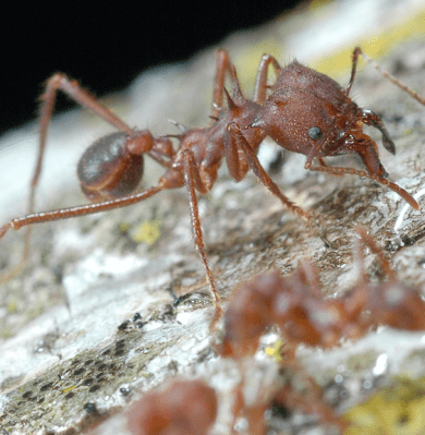 Ant Stomachs