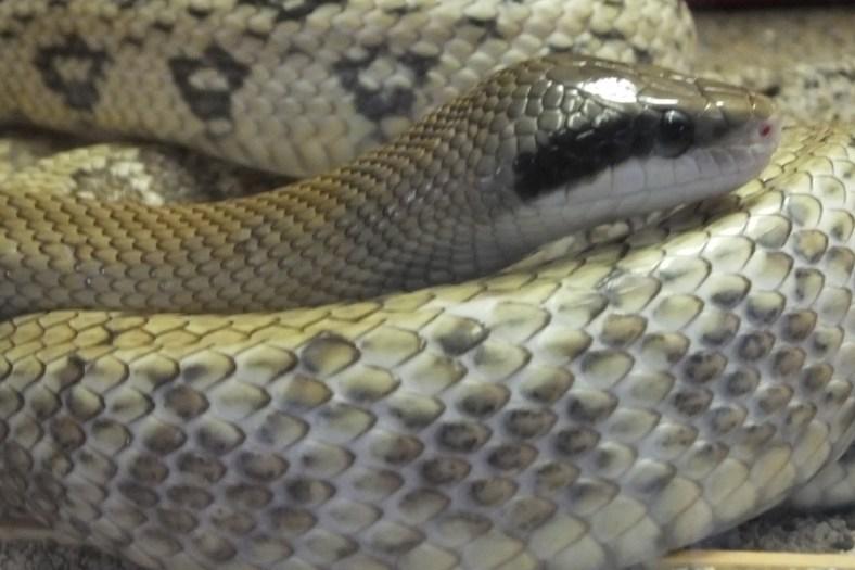 Beauty Rat Snake