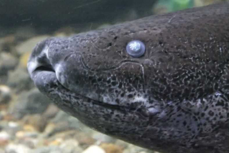 Marbled African Lungfish