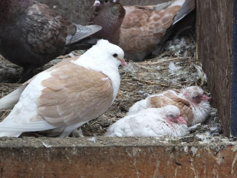 Saxon Shield Owl Pigeon, chicks