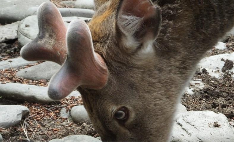 deer horn antler